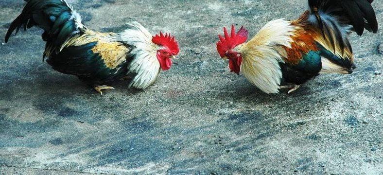 Prohibir las riñas de gallos es constitucional